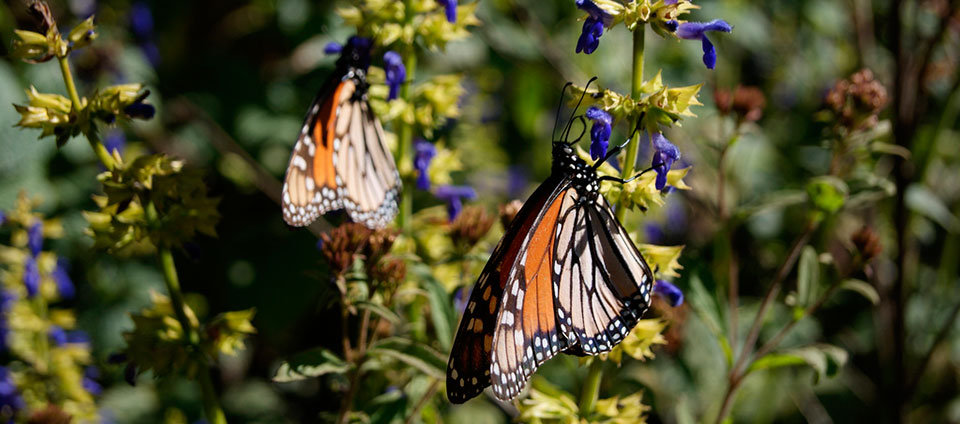 MONARCH BUTTERFLY RESERVE Walk Among the Orange-winged Wonders February 26 – 27, 2017